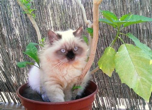 Kot rasy Ragdoll u nas w Sopocie